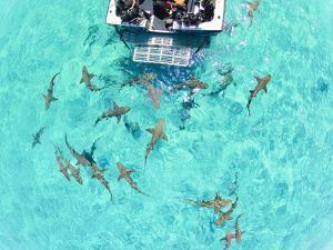 An Aerial View of Lemon Sharks Near the Surface Behind a Boat by Jim Abernethy