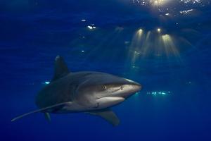 An Oceanic Whitetip Shark Swimming in the Open Ocean by Jim Abernethy