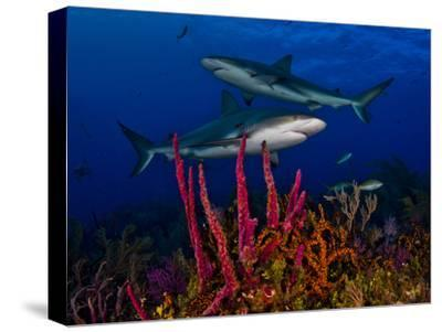 Caribbean Reef Sharks Swimming over a Colorful Reef