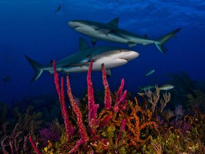 Caribbean Reef Sharks Swimming over a Colorful Reef by Jim Abernethy