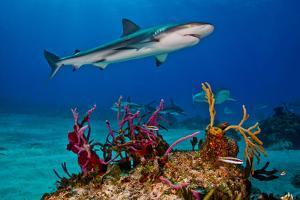 Caribbean Reef Sharks Swimming over a Reef by Jim Abernethy