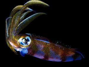 Close Up of a Caribbean Reef Squid, Sepioteuthis Sepioidea by Jim Abernethy