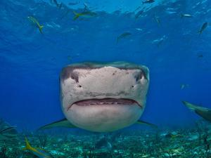Close Up of a Tiger Shark Swimming at the Sea Floor by Jim Abernethy