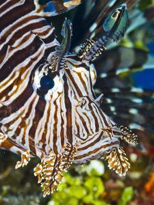 Close Up Portrait of a Lionfish by Jim Abernethy