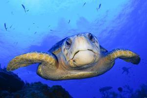 Close Up Portrait of a Loggerhead Sea Turtle, Caretta Caretta by Jim Abernethy