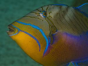 Close Up Portrait of a Queen Triggerfish by Jim Abernethy