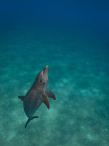 Portrait of a Bottlenose Dolphin Swimming by Jim Abernethy