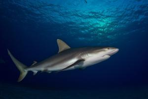 Portrait of a Caribbean Reef Shark Swimming by Jim Abernethy