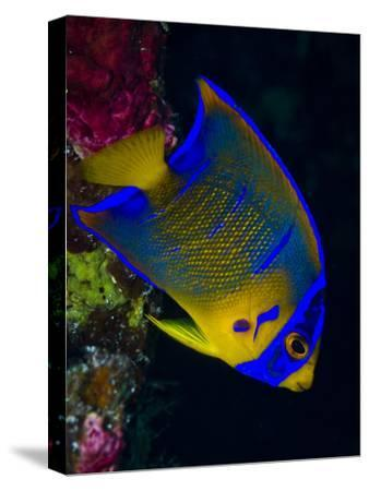 Portrait of a Juvenile Queen Angelfish Swimming