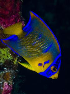 Portrait of a Juvenile Queen Angelfish Swimming by Jim Abernethy
