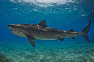 Portrait of a Tiger Shark Swimming at the Sea Floor by Jim Abernethy