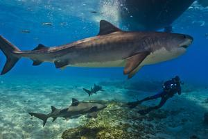 Portrait of a Tiger Shark Swimming Underneath a Boat. More Swim Near a Diver by Jim Abernethy