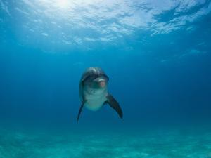 Portrait of an Atlantic Spotted Dolphin in Clear Water by Jim Abernethy