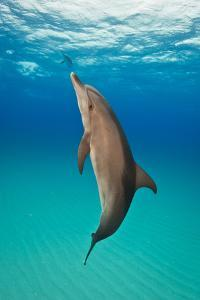 Portrait of an Atlantic Spotted Dolphin Swimming in Clear Blue Water by Jim Abernethy