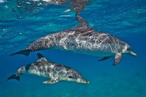 Two Atlantic Spotted Dolphins Swimming in Clear Water by Jim Abernethy