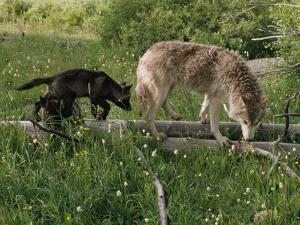 A Black Gray Wolf Pup Follows a Mid-Ranking Female Adult by Jim And Jamie Dutcher