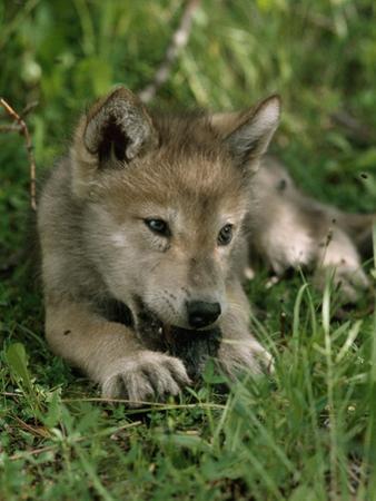 A Female Gray Wolf Pup in Mottled Light