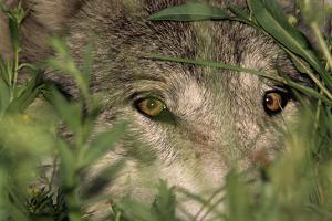 A Gray Wolf Peering Through Vegetation by Jim And Jamie Dutcher