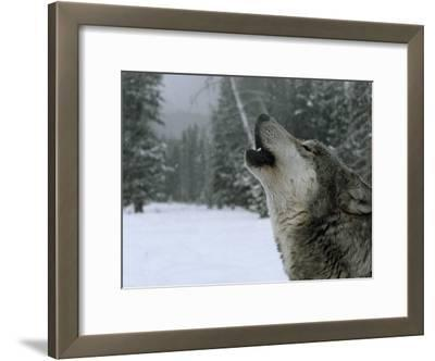 A Howling Alpha Male Gray Wolf of the Sawtooth Pack