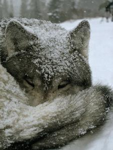 A Sleeping Alpha Male Gray Wolf in Falling Snow by Jim And Jamie Dutcher