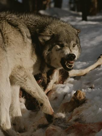 A Snarling Alpha Male Gray Wolf, Canis Lupus, Defends a Kill