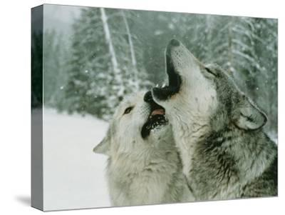 An Alpha Male Gray Wolf, Canis Lupus, Howls and the Beta Submits