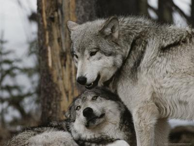 An Alpha Male Gray Wolf, Canis Lupus, Stands Over the Omega Wolf