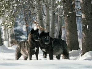 Black Gray Wolves in a Curious and Playful Stance by Jim And Jamie Dutcher