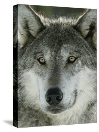 Close View of the Face of a Gray Wolf, Canis Lupus