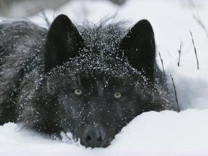 Covered with Snow Flakes, a Gray Wolf, Canis Lupus, Rest in More Snow by Jim And Jamie Dutcher