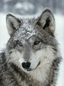 Dusting of Snow Lies on the Face of a Gray Wolf, Canis Lupus by Jim And Jamie Dutcher