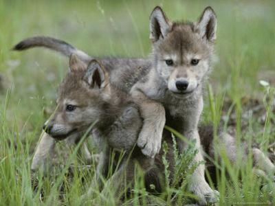 Eight-Week-Old Gray Wolf Pups, Canis Lupus, Spar with Each Other