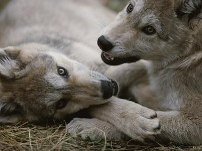 Fourteen-Week-Old Gray Wolves, Canis Lupus, Play with Each Other