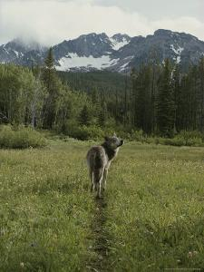 Gray Wolf, Canis Lupus, Crosses a Mountain Meadow on a Worn Path by Jim And Jamie Dutcher