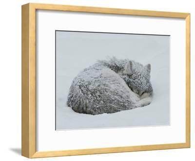 Gray Wolf, Canis Lupus, Curls Up in the Snow to Sleep