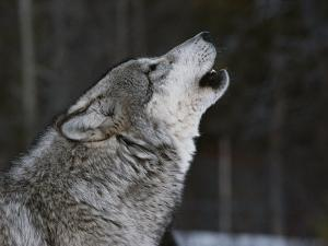 Gray Wolf, Canis Lupus, Howling by Jim And Jamie Dutcher