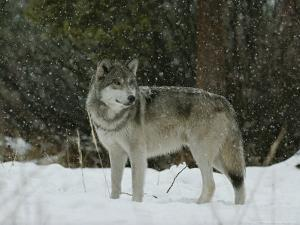 Gray Wolf, Canis Lupus, in a Snow Shower by Jim And Jamie Dutcher