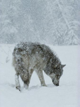 Gray Wolf, Canis Lupus, Sniffs at the Ground During a Snowstorm