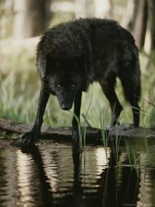 Gray Wolf, Canis Lupus, Stops at a Woodland Stream For a Drink by Jim And Jamie Dutcher