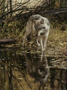 Gray Wolf, Canis Lupus, Stops at a Woodland Stream by Jim And Jamie Dutcher