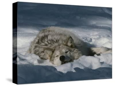 Gray Wolf, Canis Lupus, Takes a Nap in a Snowy Bed
