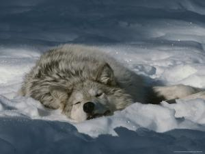 Gray Wolf, Canis Lupus, Takes a Nap in a Snowy Bed by Jim And Jamie Dutcher