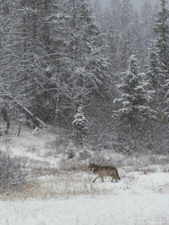 Gray Wolf, Canis Lupus, Walks in a Wintry Snow-Filled Landscape by Jim And Jamie Dutcher