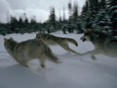 Gray Wolves in Pursuit of Game