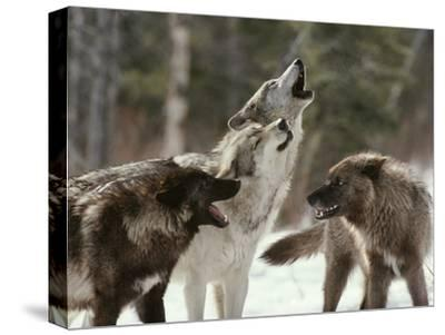 Group of Gray Wolves, Canis Lupus, Howl in Unison
