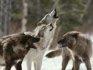 Group of Gray Wolves, Canis Lupus, Howl in Unison by Jim And Jamie Dutcher