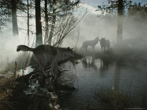 Group of Gray Wolves, Canis Lupus, Pass By a Foggy Pond in a Forest by Jim And Jamie Dutcher