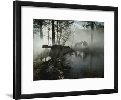 Group of Gray Wolves, Canis Lupus, Pass By a Foggy Pond in a Forest