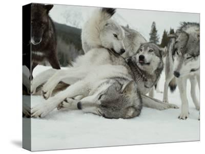 Group of Gray Wolves, Canis Lupus, Rally Together