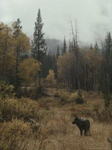 Lone Gray Wolf, Canis Lupus, Pauses in a Small Forest Clearing by Jim And Jamie Dutcher